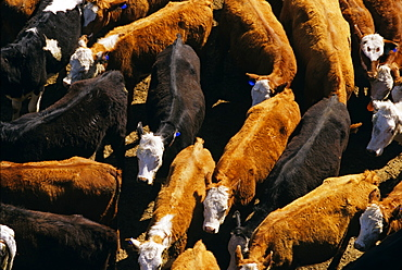 Agriculture - Overhead view of a mixed herd (Angus, Black Baldie, Hereford and Crossbred) of beef cattle at a feedlot / near Stillwater, Minnesota, USA.