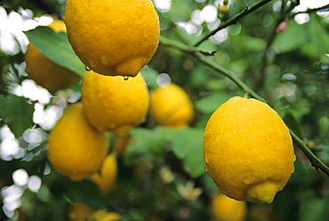 Agriculture - Ripe lemons on the tree on a rainy day / Tucson, Arizona, USA.