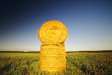 Agriculture - Stacked round hay bales in a hayfield / Grey Eagle, Minnesota, USA.