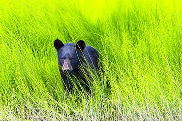 Black Bear (Ursus Americanus) In The Lush Green Grass On The Riverbank, Dawson, Yukon, Canada