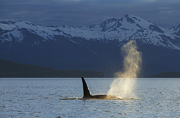 An Orca Whale (Orcinus Orca), A Male Indicated By The Height Of Its Dorsal Fin, Surfaces In Lynn Canal On A Summer Evening, Inside Passage, Alaska, United States Of America
