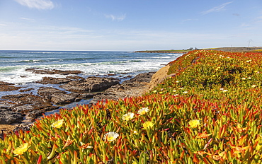 California Coast In The Springtime With Blossoming Ice Plant In The Foreground On The Cliffs, California, United States Of America