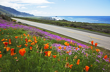 Poppies And Ice Plants Bloom Along The Big Sur Route 1, California, United States Of America