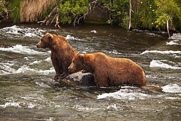 Brown Bear (Ursus Arctos) Male And Female Courting Prior To Mating, Sitting On Boulder In Brooks River, Katmai National Park And Preserve, Alaska, United States Of America