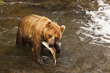 Brown Bear (Ursus Arctos) In Brooks River Holding Sockeye Salmon (Oncorhynchus Nerka), Katmai National Park And Preserve, Alaska, United States Of America