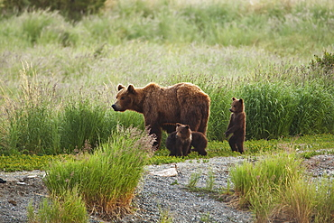 Brown Bear (Ursus Arctos) Sow With Three Cubs Of The Year Walking Along Trail, Katmai National Park And Preserve, Alaska, United States Of America
