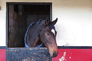 Horse (Equus Ferus Caballus) In A Stable, Durham, England