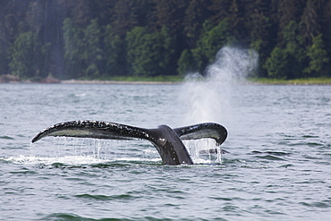 Humpback Whale (Megaptera Novaeangliae) Lifting Its Fluke As It Submerges Into The Waters Of Lynn Canal, Southeast Alaska, Alaska, United States Of America