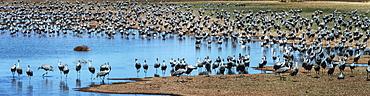Sandhill Cranes (Grus Canadensis), Whitewater Draw, Arizona, United States Of America