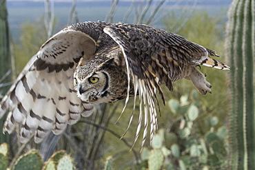 Great Horned Owl (Bubo Virginianus), Sonoran Desert, Arizona, United States Of America