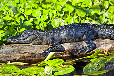 Close Up Of American Alligator (Alligator Mississippiensis) Resting On A Log In St. Johns River, Blue Spring State Park, Orange City, Florida, United States Of America