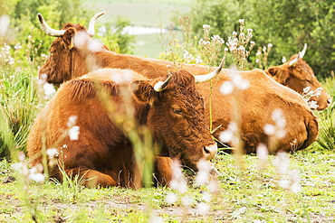 Cattle Laying On The Grass, Tarifa, Cadiz, Andalusia, Spain