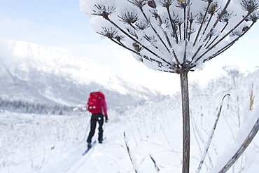 Cross Country Skiing Along The Russian River To Aspen Flats Cabin, Kenai Mountains Peninsula, Southcentral Alaska, Alaska, United States Of America