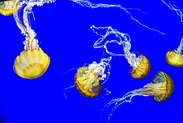 Sea Nettle Swims At The Oregon Coast Aquarium, Newport, Oregon, United States Of America