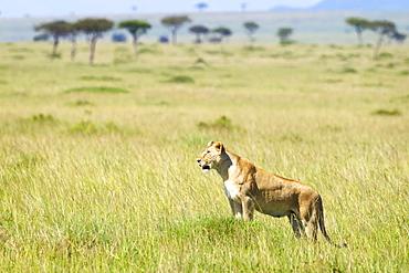 Lioness Surveying The Land At The Serengeti Plains, Tanzania