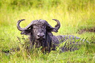 Water Buffalo Covered In Mud From A Bath In A Watering Hole At The Serengeti Plains, Tanzania