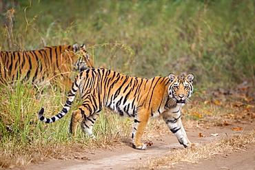 Bengal Tigers (Panthera Tigris Tigris) Walking At The Pench National Park, Madhya Pradesh, India