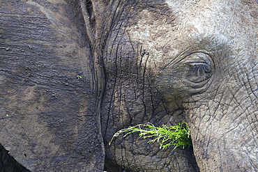 An Extreme Close Up Of An Elephant Feeding Itself At Serengeti Plains, South Africa