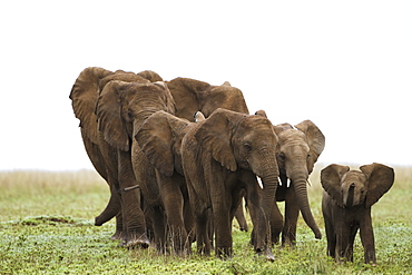 A Family Of Elephants Strolls Across The Serengeti Plains, South Africa