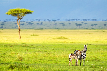 Zebras On The Serengeti Plains, South Africa