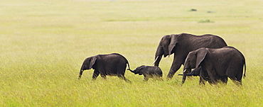 Elephant Family On The Move Across The Serengeti Plain, South Africa