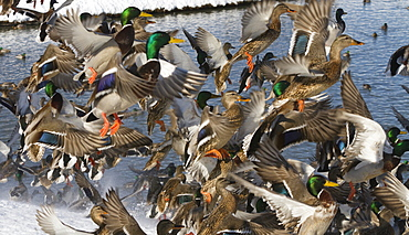 Ducks. Mallard Ducks Flush Out've A Pond In Anchorage During Winter, 2012. Cuddy Park. Southcentral Alaska.