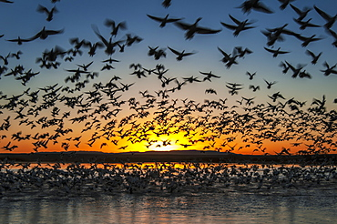 Twenty Thousand Snow Geese (Chen Caerulescens) Take Flight At Sunrise In Bosque Del Apache National Wildlife Refuge, New Mexico, United States Of America