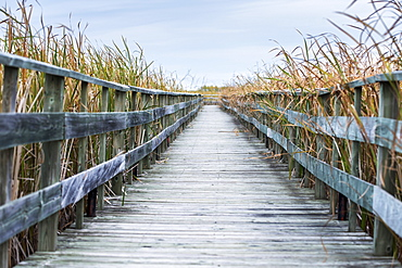 A Weathered Wooden Boardwalk Lined With Tall Grasses, Riverton, Manitoba, Canada
