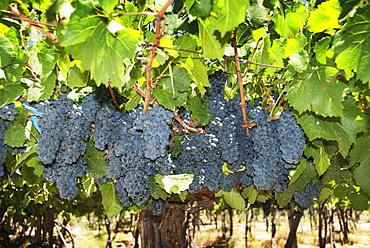 Clusters Of Ripe Grapes, Mendoza, Argentina