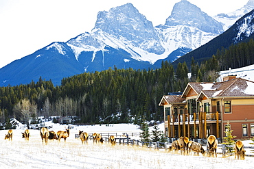 Herd Of Elk Grazing In Residential Area Without Fear Of Humans, Canmore, Alberta, Canada