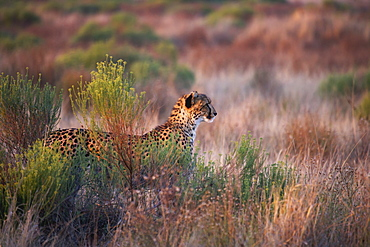 Cheetah Watching In The Tall Grass, South Africa