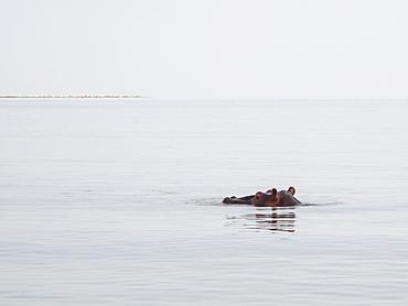 Hippopotamus In Lake Tana, Bahar Dar, Amhara Region, Ethiopia