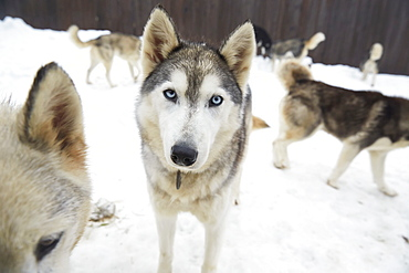 Sled Dogs At The Haliburton Forest And Wildlife Reserve, Ontario, Canada