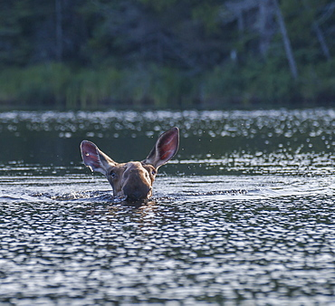 Cow Moose (Alces Aces) Swimming In A Lake, Ontario, Canada