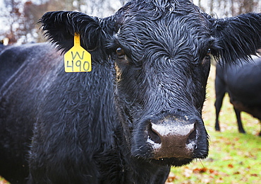 Black Angus Cow With A Yellow Ear Tag Looking At Camera, Kentucky, United States Of America