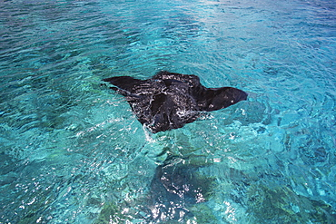 Manta Ray Swimming In The Ocean Water, Tahiti