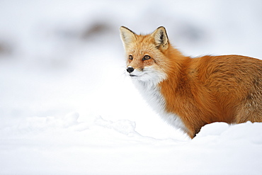Male Red Fox (Vulpes Vulpes) Standing In The Snow In Winter, Montreal, Quebec, Canada