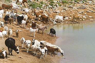 Goats By The Water Reservoir, Bulgan, South Gobi Province, Mongolia