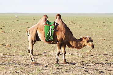 Bactrian Camel (Camelus Bactrianus), Gobi Gurvansaikhan National Park, Ömnögovi Province, Mongolia