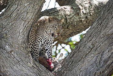 Leopard In Tree Licking Lips While Feeding On Wildebeest Calf Near Ndutu, Ngorongoro Crater Conservation Area, Tanzania