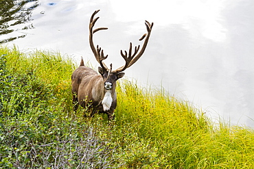 A Large Male Caribou Stands Next To A Tundra Pond In Denali National Park, Alaska, United States Of America