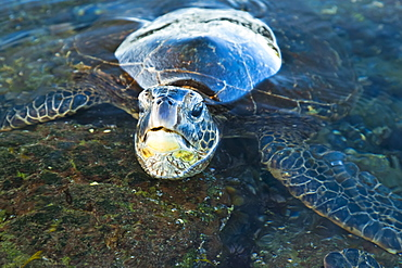 Green Sea Turtle (Chelonia Mydas) In The Water, Island Of Hawaii, Hawaii, United States Of America