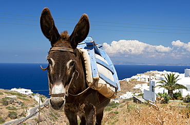 A Donkey In A Field, Sifnos, Cyclades, Greek Islands, Greece