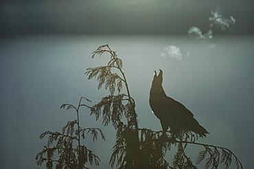 Bald Eagle (Haliaeetus Leucocephalus) And It Breath Backlit By The Rising Sun, British Columbia, Canada