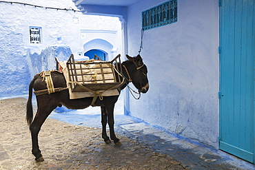 Mule Waiting Patiently In The Street, Chefchaouen, Morocco