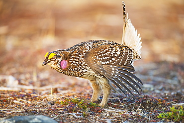 Male Sharp-Tailed Grouse Struts During Spring Mating Dance, Interior Alaska