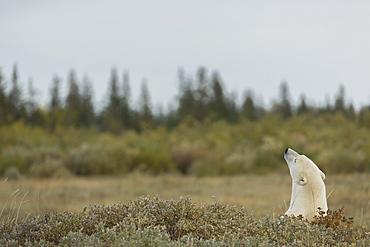 Polar Bear (Ursus Maritimes) Sticking Its Head Above The Foliage, Manitoba, Canada
