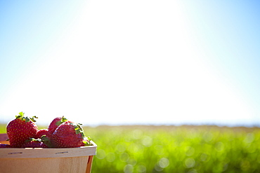 A Basket Full Of Strawberries With Farmland In The Background, Quebec, Canada