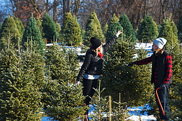 A Couple Choosing And Cutting A Fresh Christmas Tree At A Christmas Tree Farm, Minnesota, United States Of America