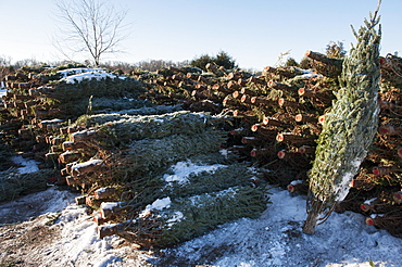 Cut Trees In A Pile At A Christmas Tree Farm, Minnesota, United States Of America